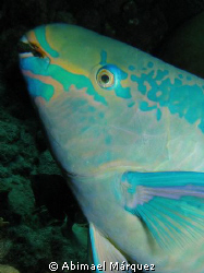 Stoplight Parrotfish, Bonaire 2008 by Abimael M&#225;rquez 